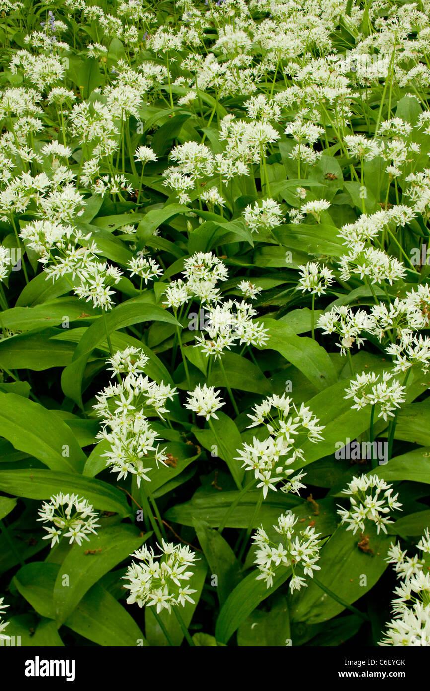 Ramsons or Wild Garlic, (Allium ursinum) in Garston Wood (RSPB Nature Reserve) Dorset - Stock Image