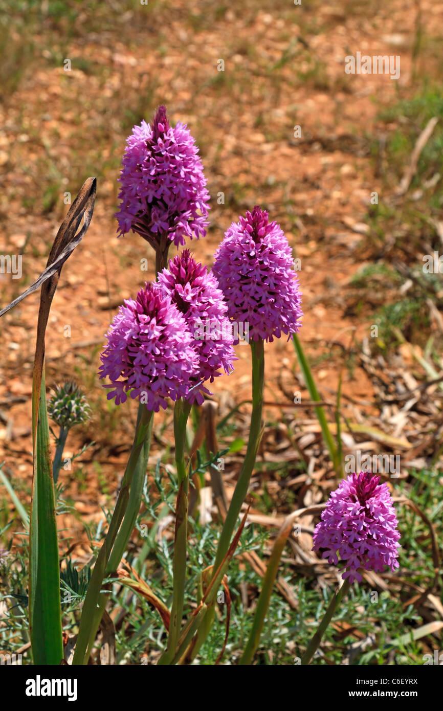 Pyramidal Orchid, Anacamptis pyramidalis in the Algarve, Portugal Stock Photo