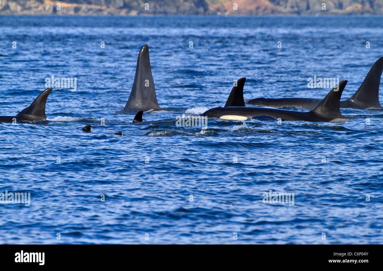 A pod of killer whales (Orcinus orca) swimming near the San Juan Islands, Washington. - Stock Image