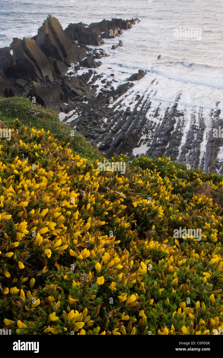 Gorse bushes, and the dramatic heavily-folded sandstone and mudstone rocks of Hartland Quay, north Devon. - Stock Image