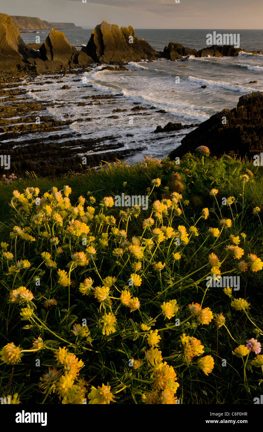 Lovely masses of Kidney Vetch iin spring on the cliffs at Hartland Quay, north Devon. - Stock Image