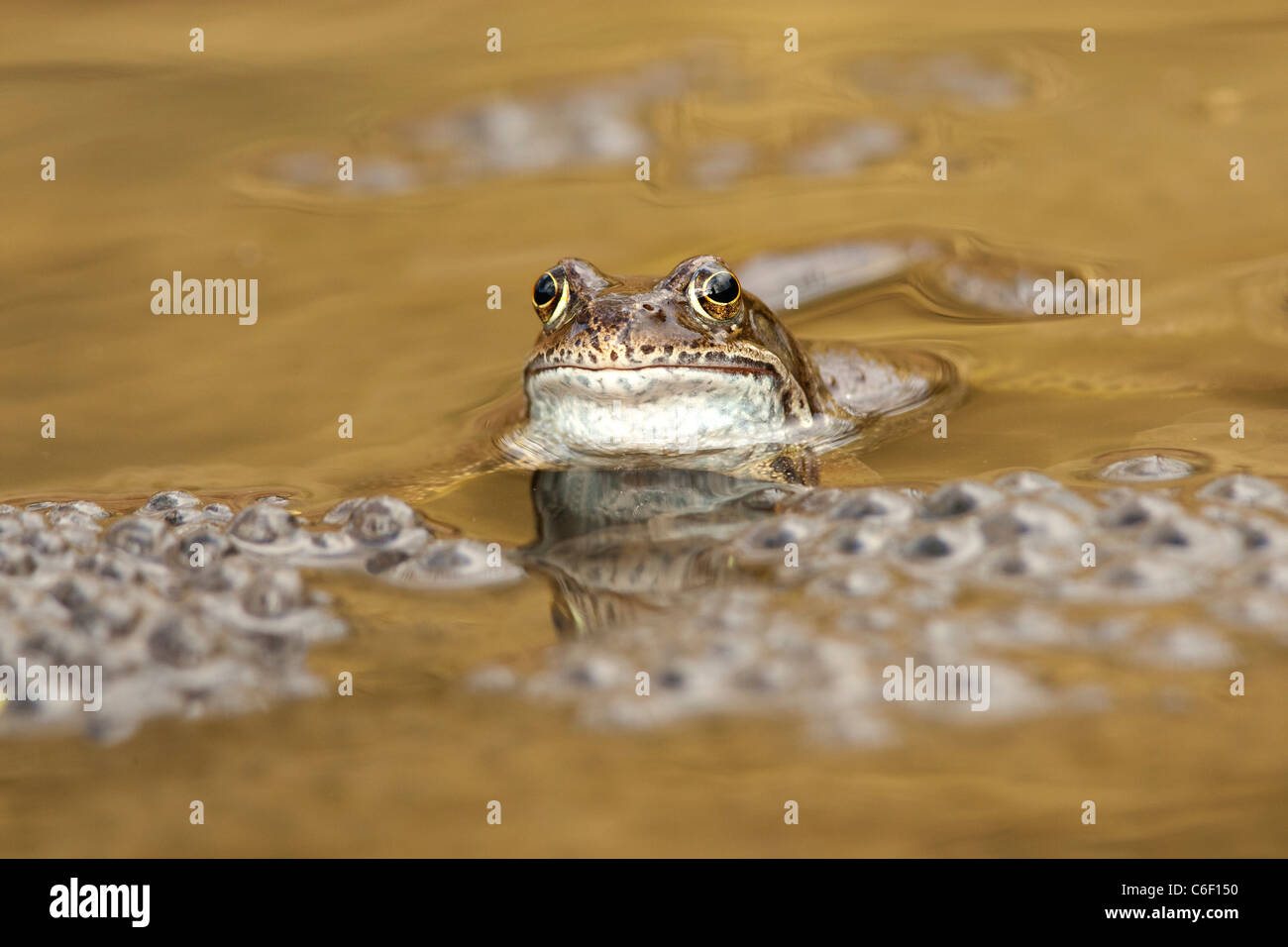 Rana temporaria - common frog with frog spawn - Stock Image