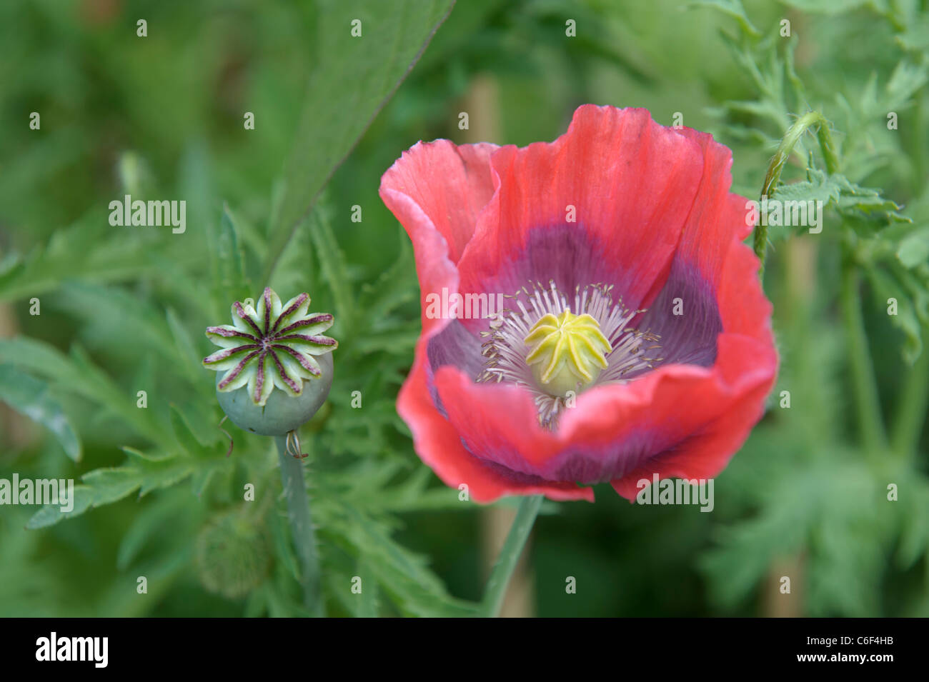 Red Poppy Flower Seed Pod Stock Photos Red Poppy Flower Seed Pod