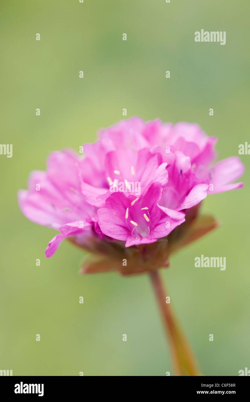 Armeria hybrida 'Bees hybrids'. Close up of Sea Pink flower - Stock Image