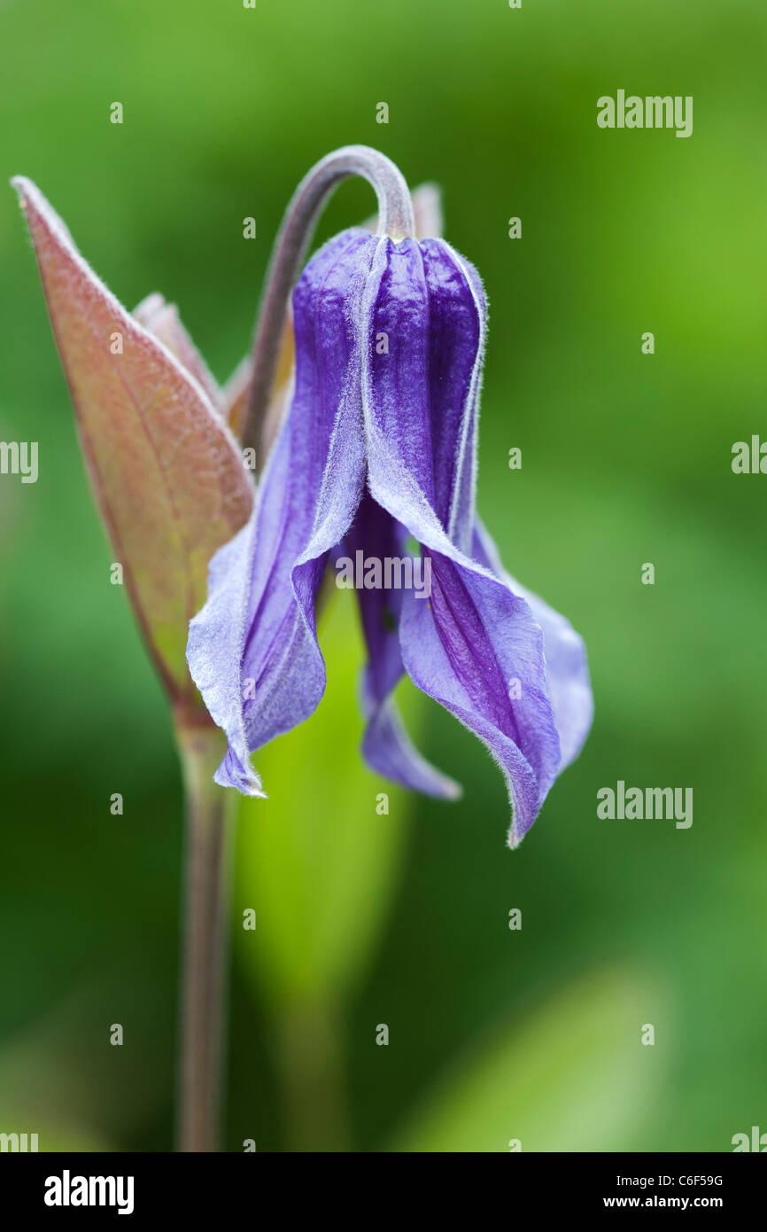 Clematis integrifolia. Single blue flower. - Stock Image