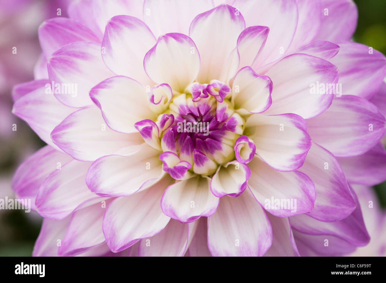 Dahlia 'Audacity'. Close up of flowerhead. - Stock Image