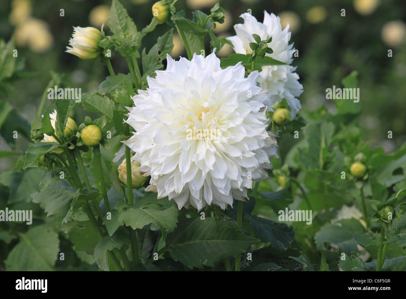 White Dahlia in the Mohonk Resort garden Stock Photo
