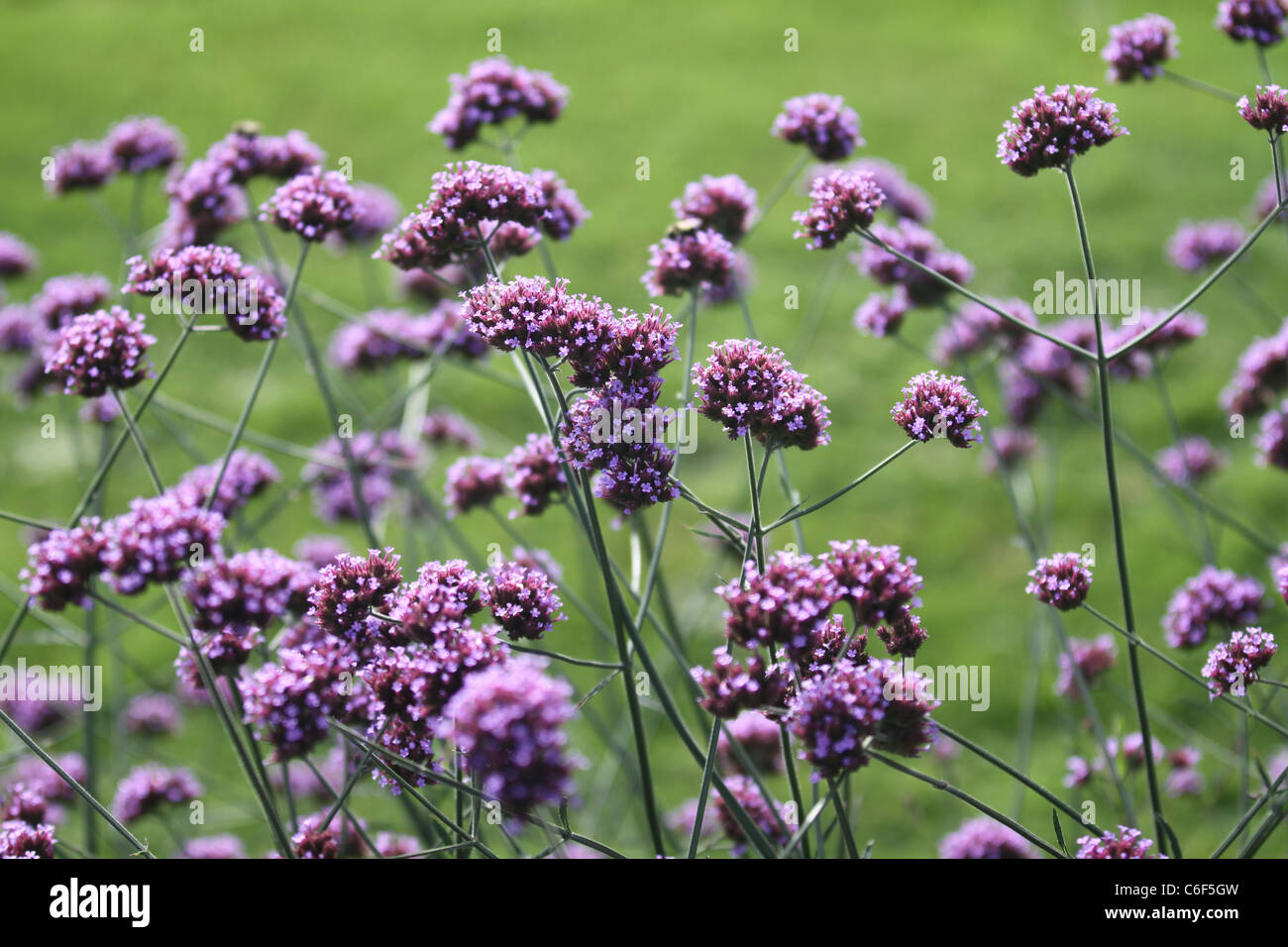 Small purple flowers in a field Stock Photo