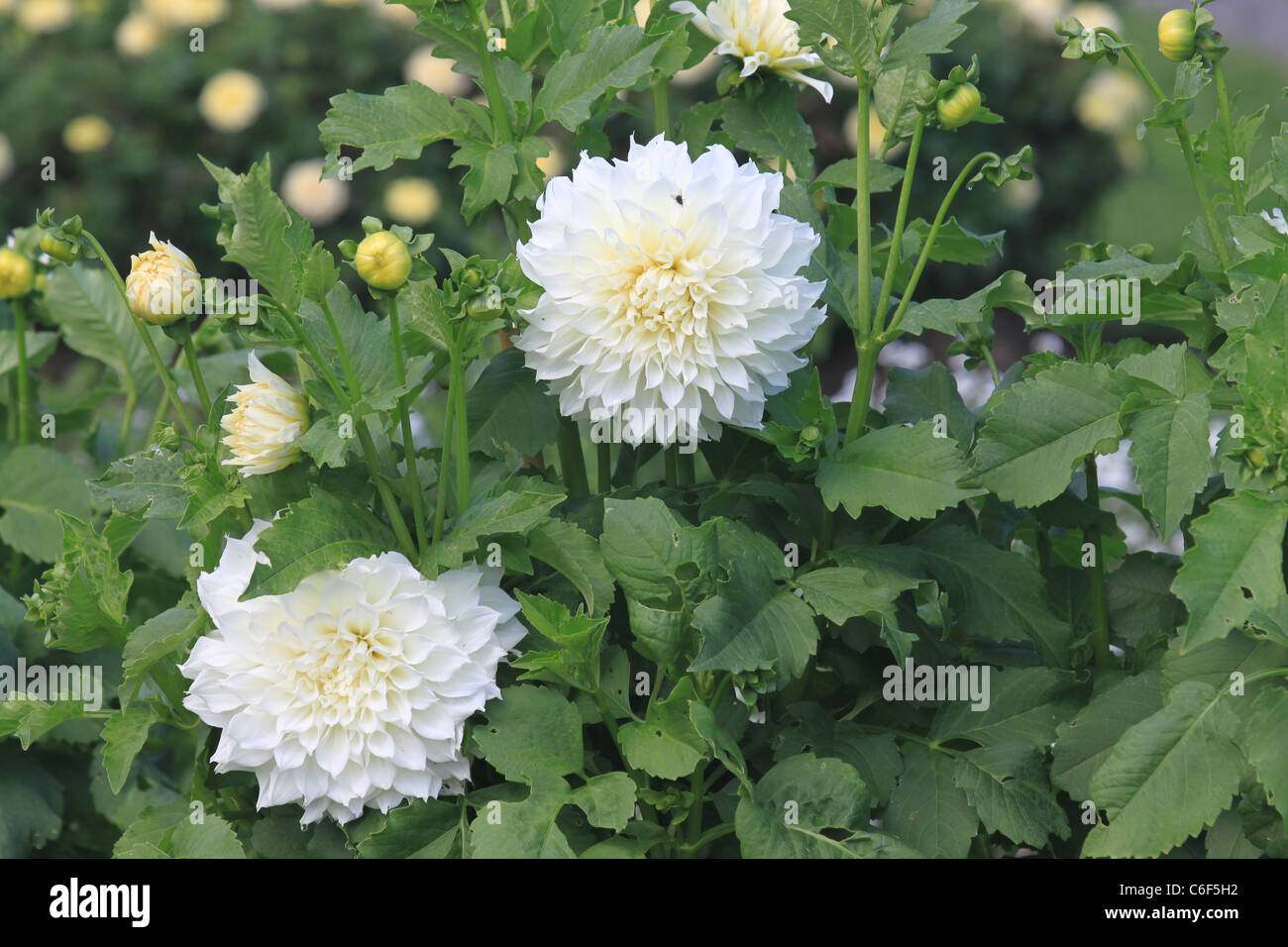 Greenery and white dahlias Stock Photo