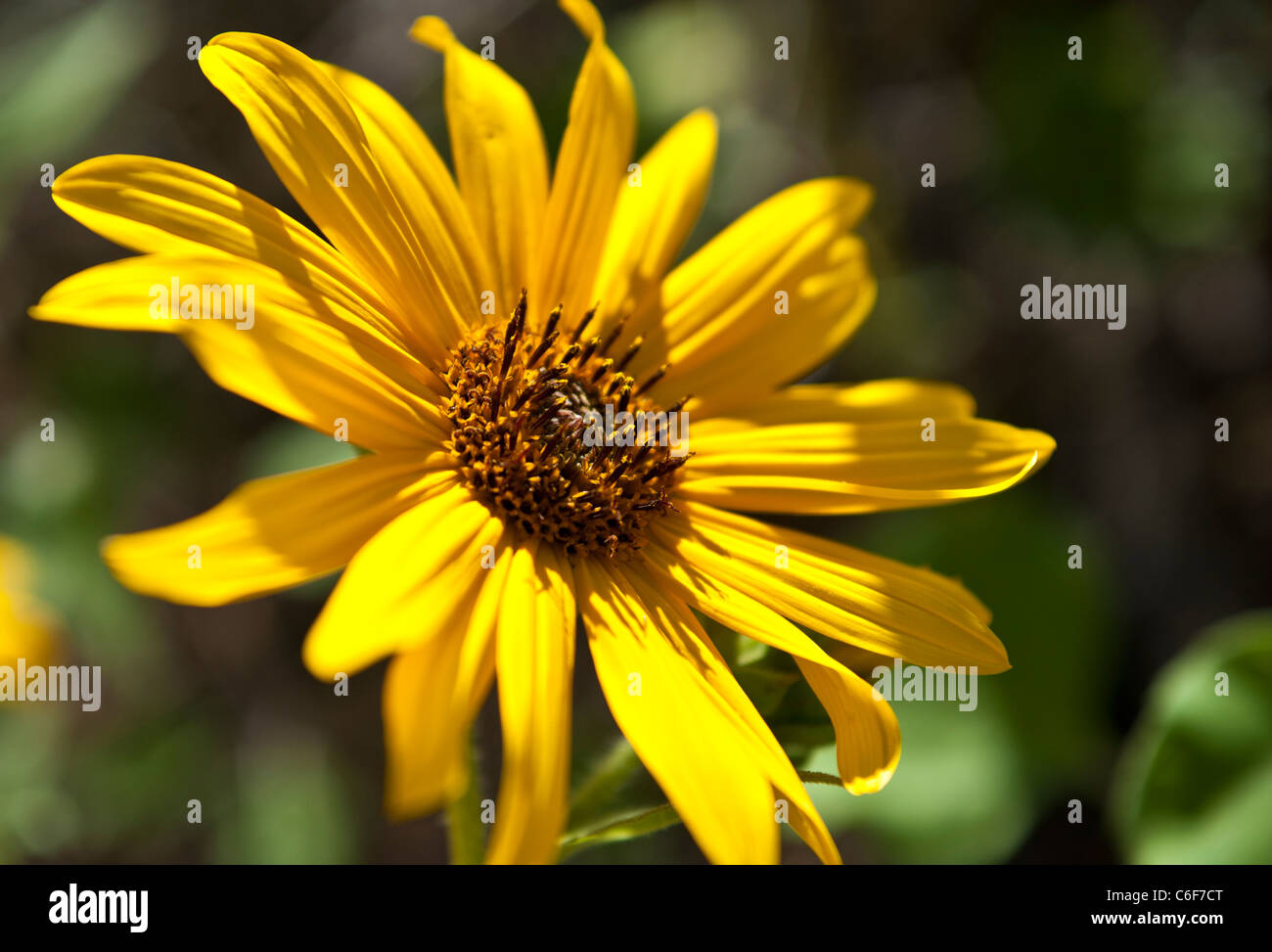 Common sunflower is a widely branching, stout annual, 1 1/2-8 ft. tall, with coarsely hairy leaves and stems. - Stock Image