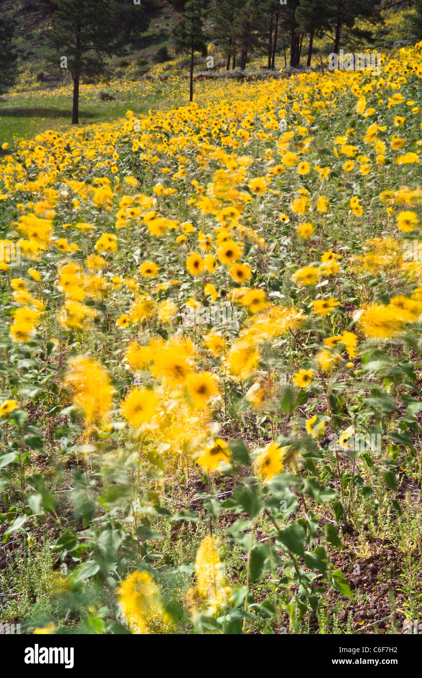Common sunflower is a widely branching, stout annual, 1 1/2-8 ft. tall, with coarsely hairy leaves and stems. Terminal - Stock Image