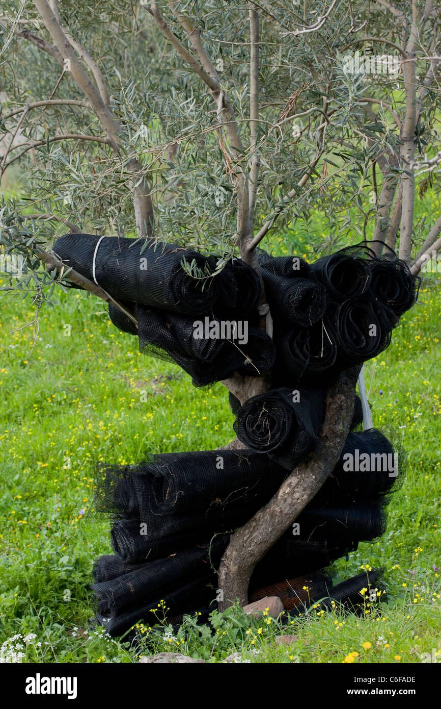 Black netting - for harvesting olives, hanging on olive tree; Lesvos (Lesbos), Greece. - Stock Image