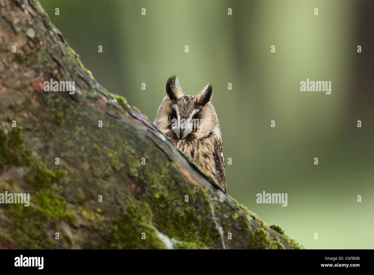 A captive Long-eared Owl,Asio otus,peering over a tree trunk in Mid Wales, - Stock Image