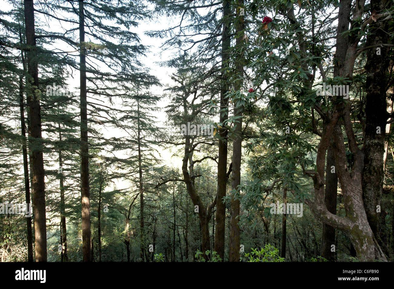 Pine tree forest at Dhanaulty -Uttarakhand-India. - Stock Image