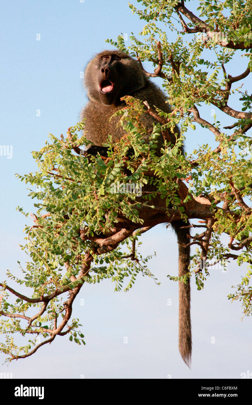 An Anubis baboon sits in the high branches of an acacia tree overlooking Nechisar National Park near  Arba Minch Stock Photo