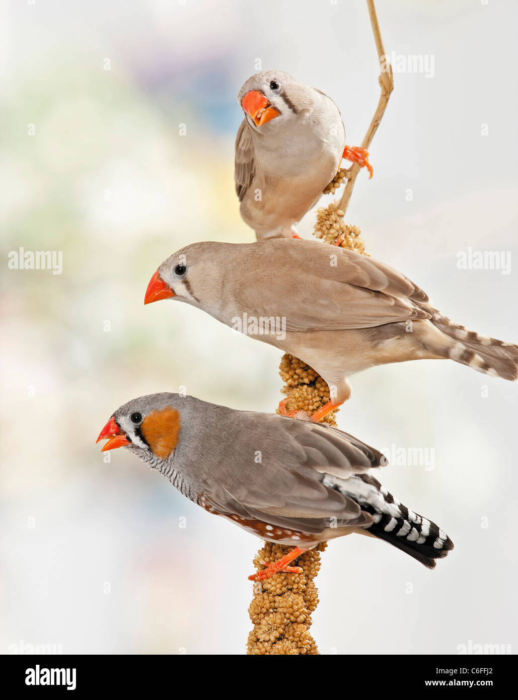 three Zebra Finches at millet - Stock Image
