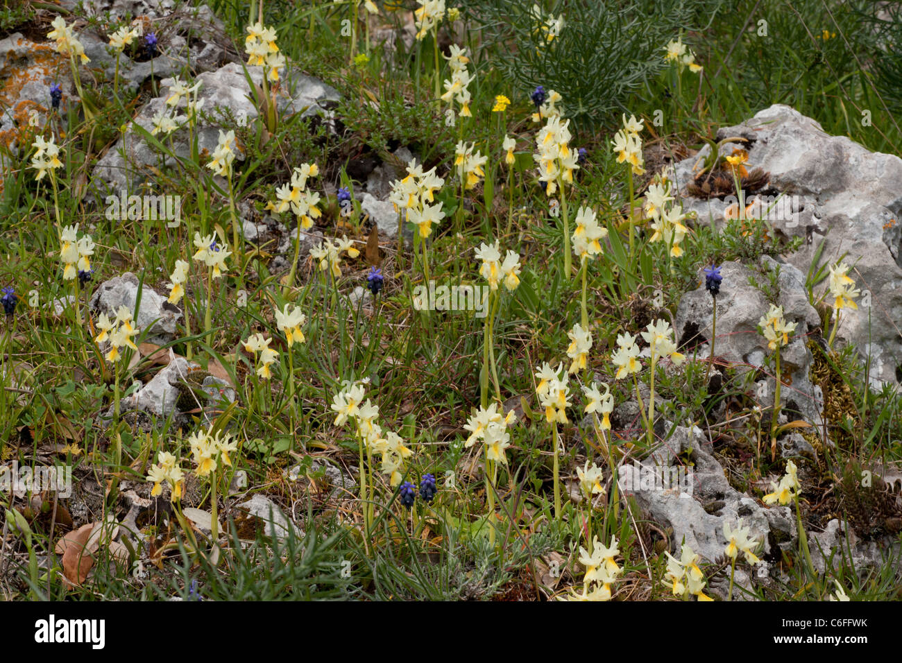 Mass of Few-flowered Orchids Orchis pauciflora with grape hyacinths etc, Gargano Peninsula, Italy. - Stock Image