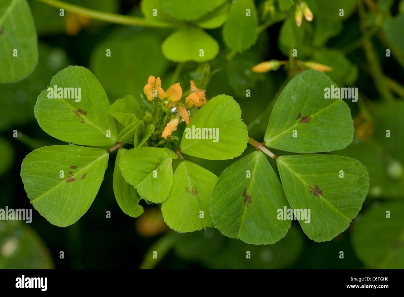 Spotted Medick, Medicago arabica in flower. - Stock Image