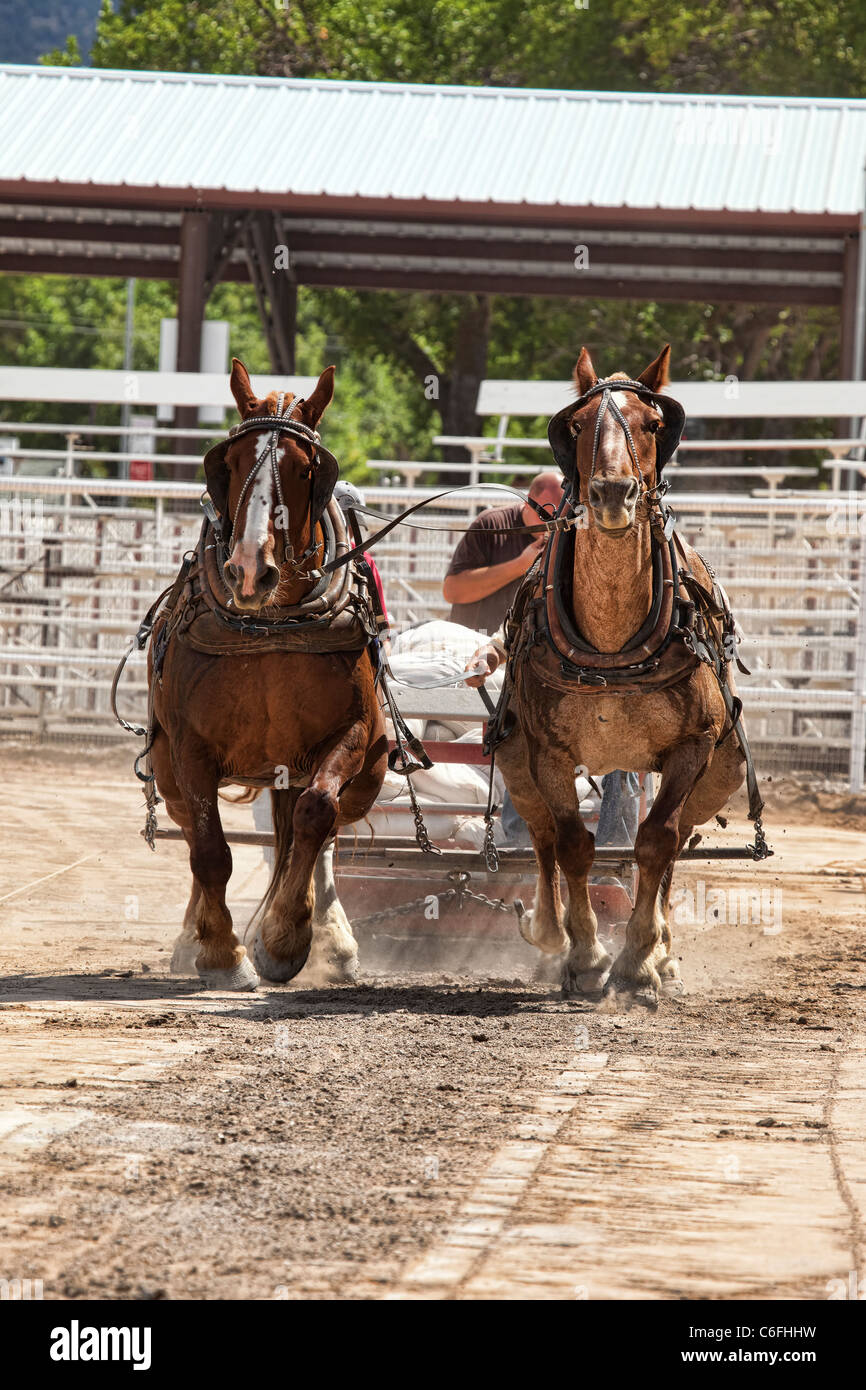 Draft Horse Pulling Competition At Local County Fair With Draft Stock Photo Alamy