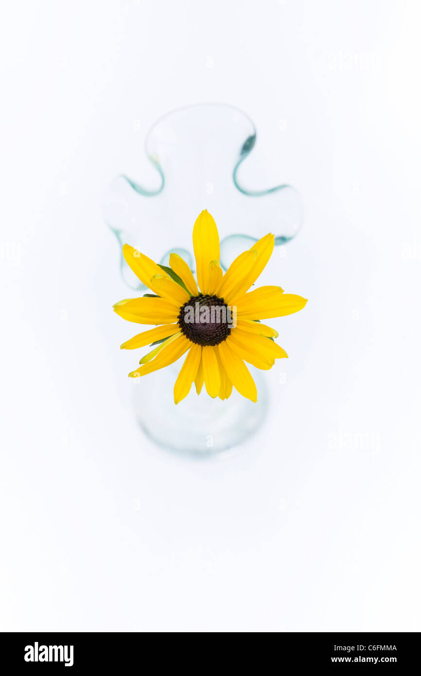Rudbeckia Hirta. Coneflower. Single flower stem in a glass vase on a white background. - Stock Image
