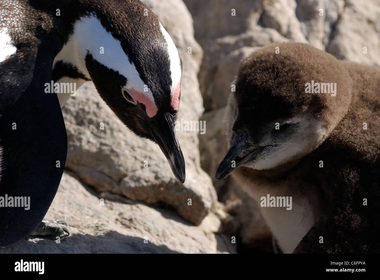 African Penguin (Spheniscus demersus) and chick, Betty's Bay, South Africa Stock Photo