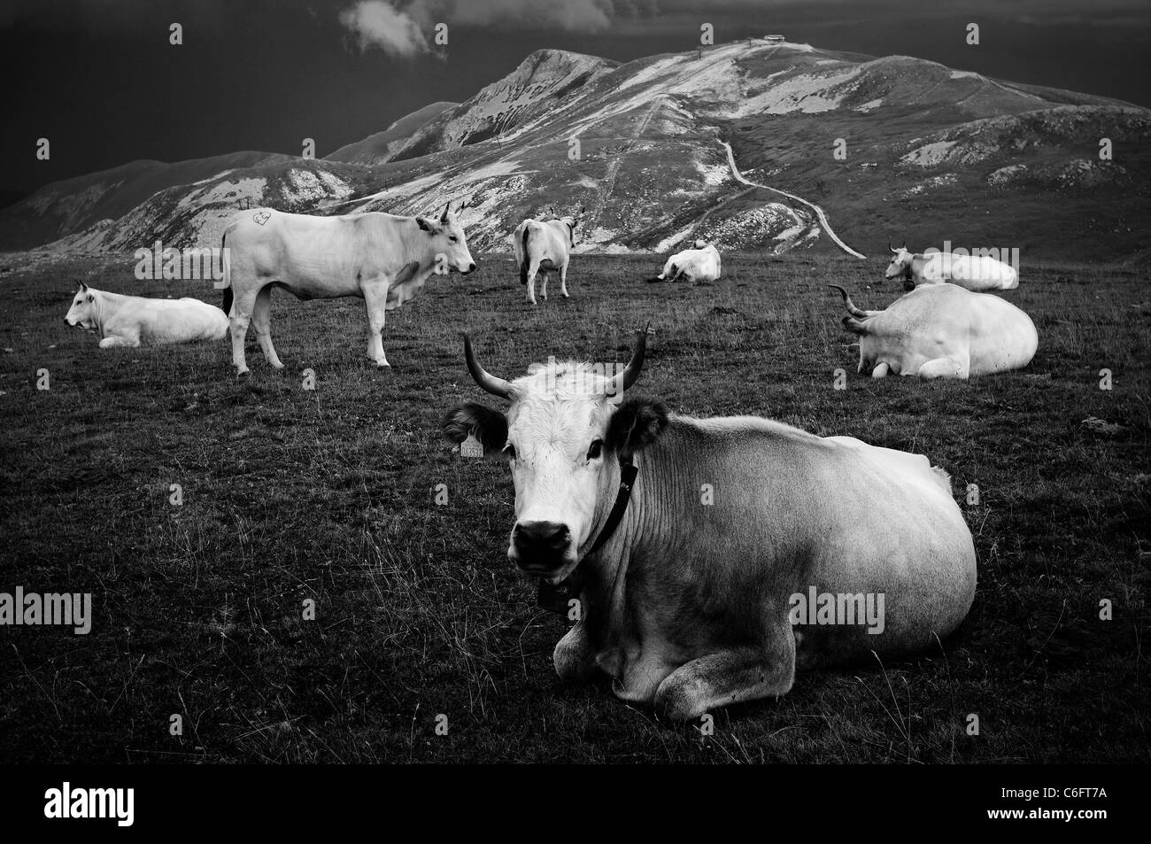Herd of cows on a mountain - Stock Image
