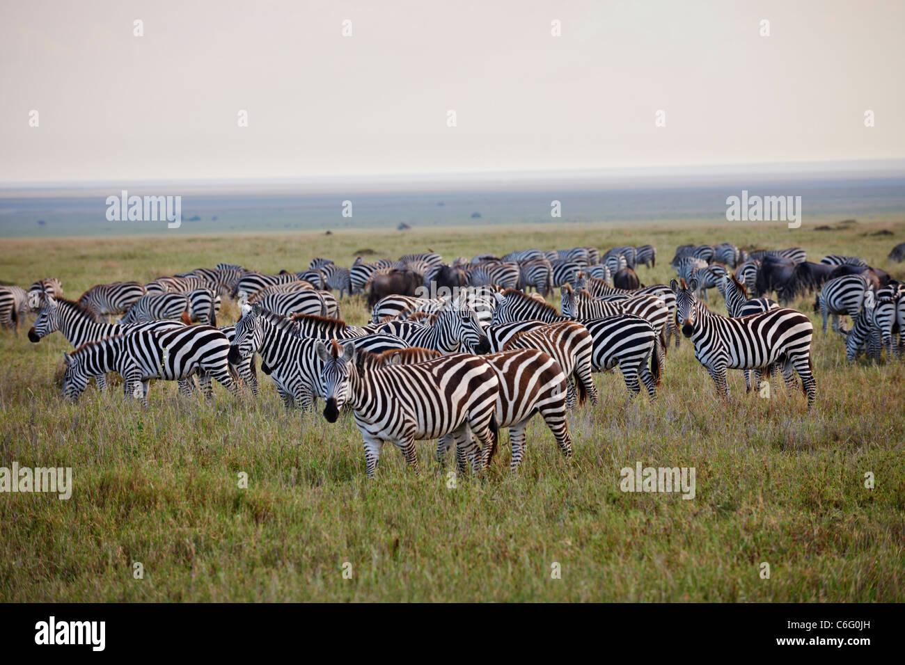 Plains Zebra on migration, Equus quagga, Serengeti, Tanzania, Africa - Stock Image