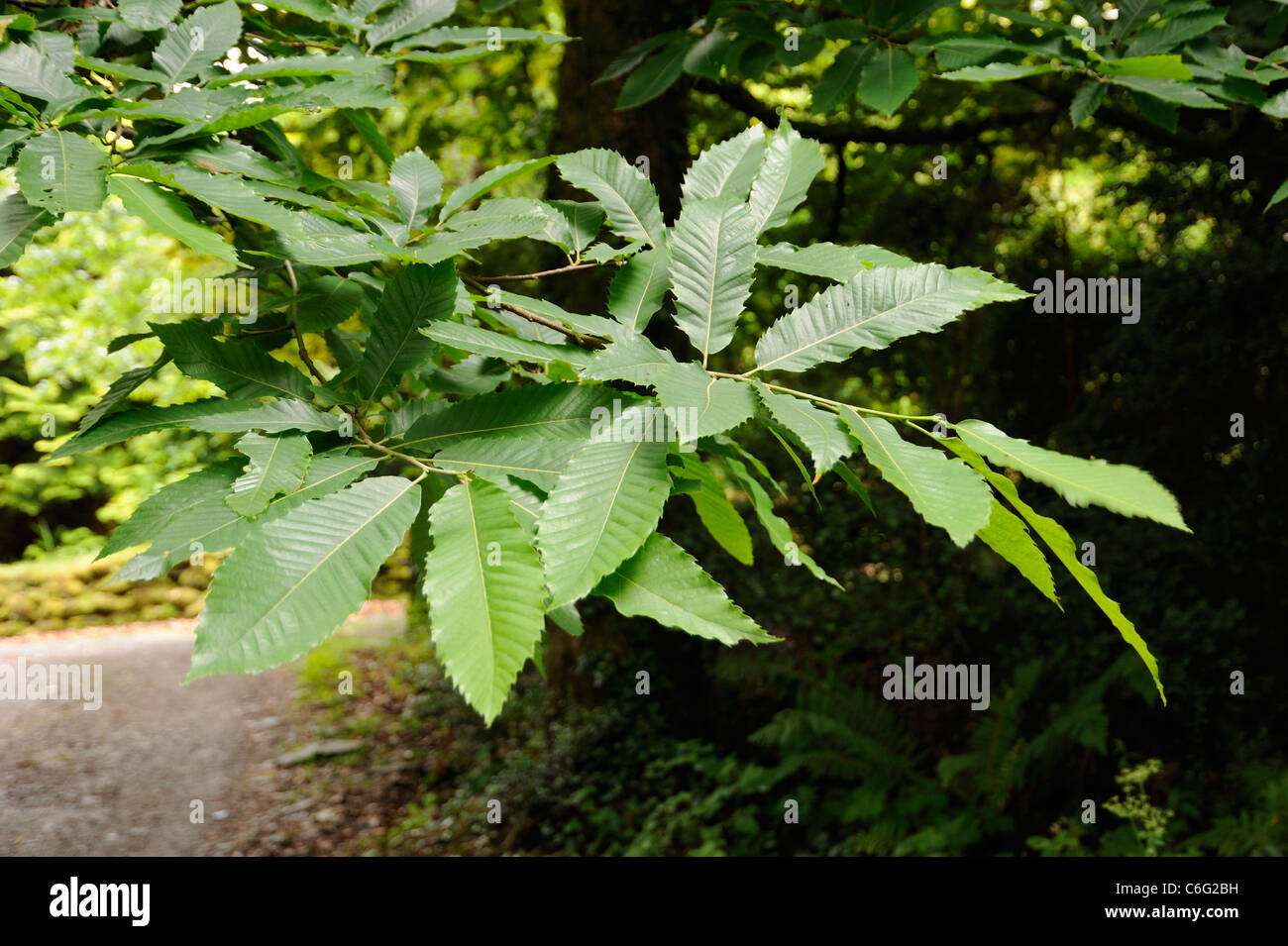 Sweet Chestnut leaves, castanea sativa Stock Photo