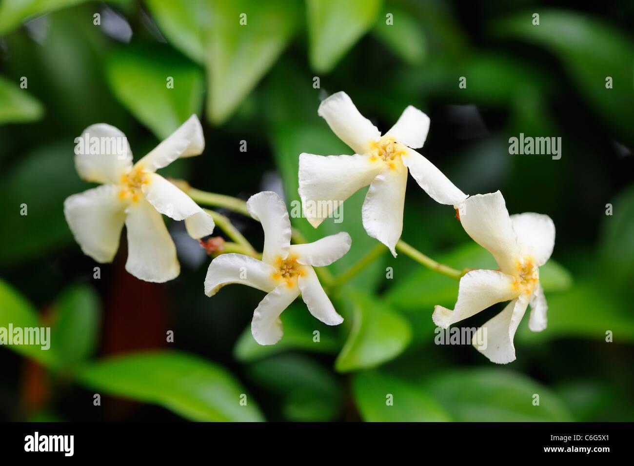 Trachelospermum Jasminoides Confederate Jasmine Star Jasmine In