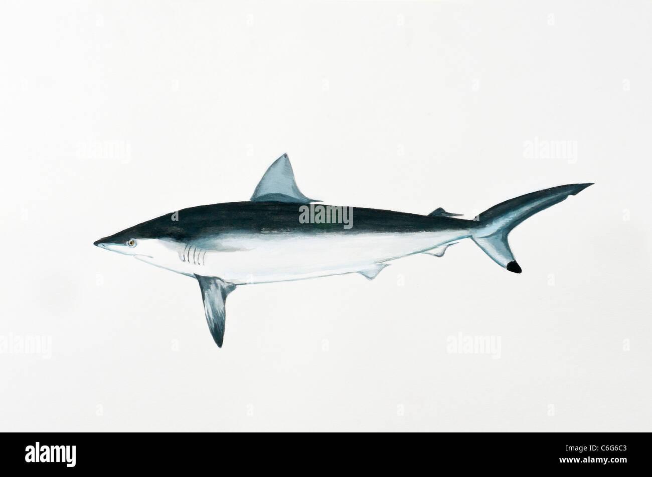 Spottail Shark, Carcharhinus sorrah, Carcharhinidae - Stock Image