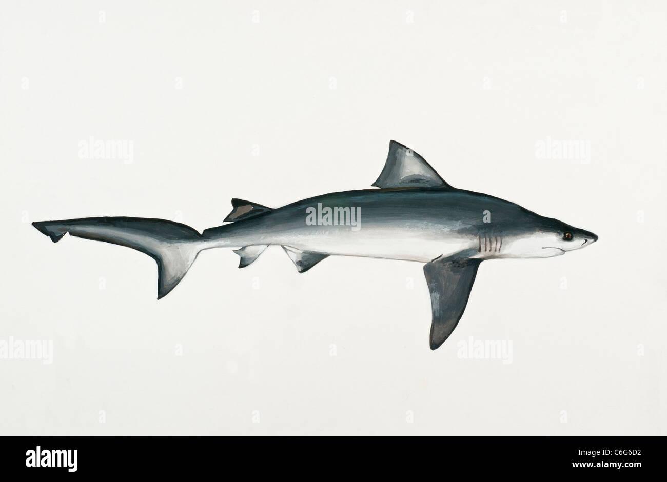 Bull Shark  Carcharhinus leucas, Carcharhinidae - Stock Image