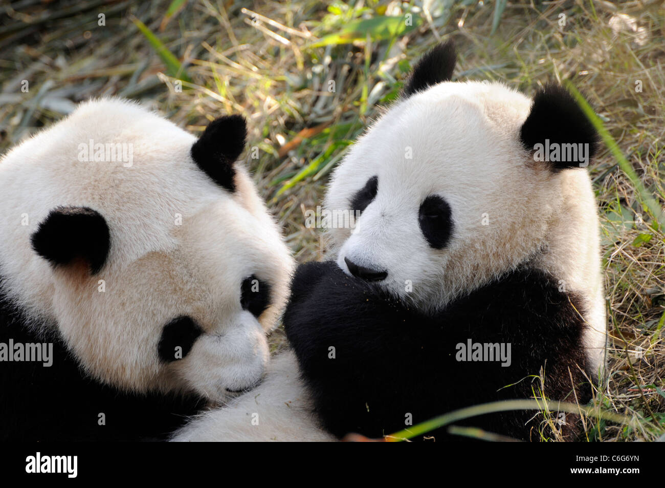 Two sub-adult Giant pandas (Ailuropoda melanoleuca),  Sichuan province, China Stock Photo