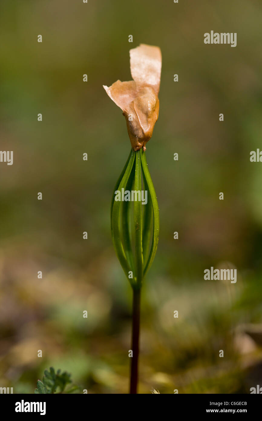 Macedonian Pine, Pinus peuce, seedling germinating, with seed coat still attached. 5 needles. Bulgaria - Stock Image