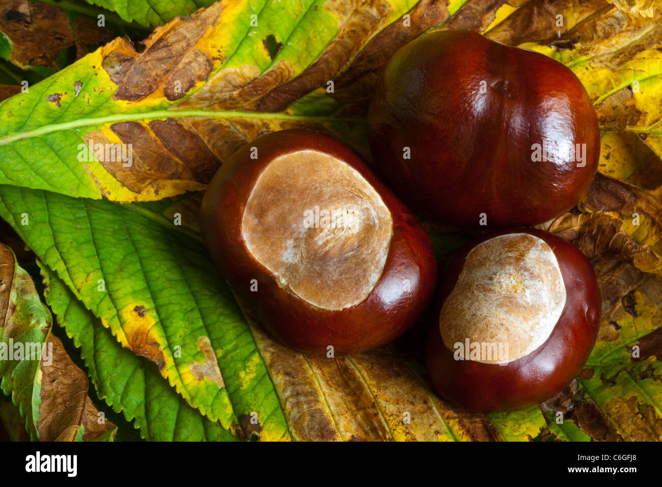 Three conkers lying on horse chestnut leaves in autumn - Stock Image