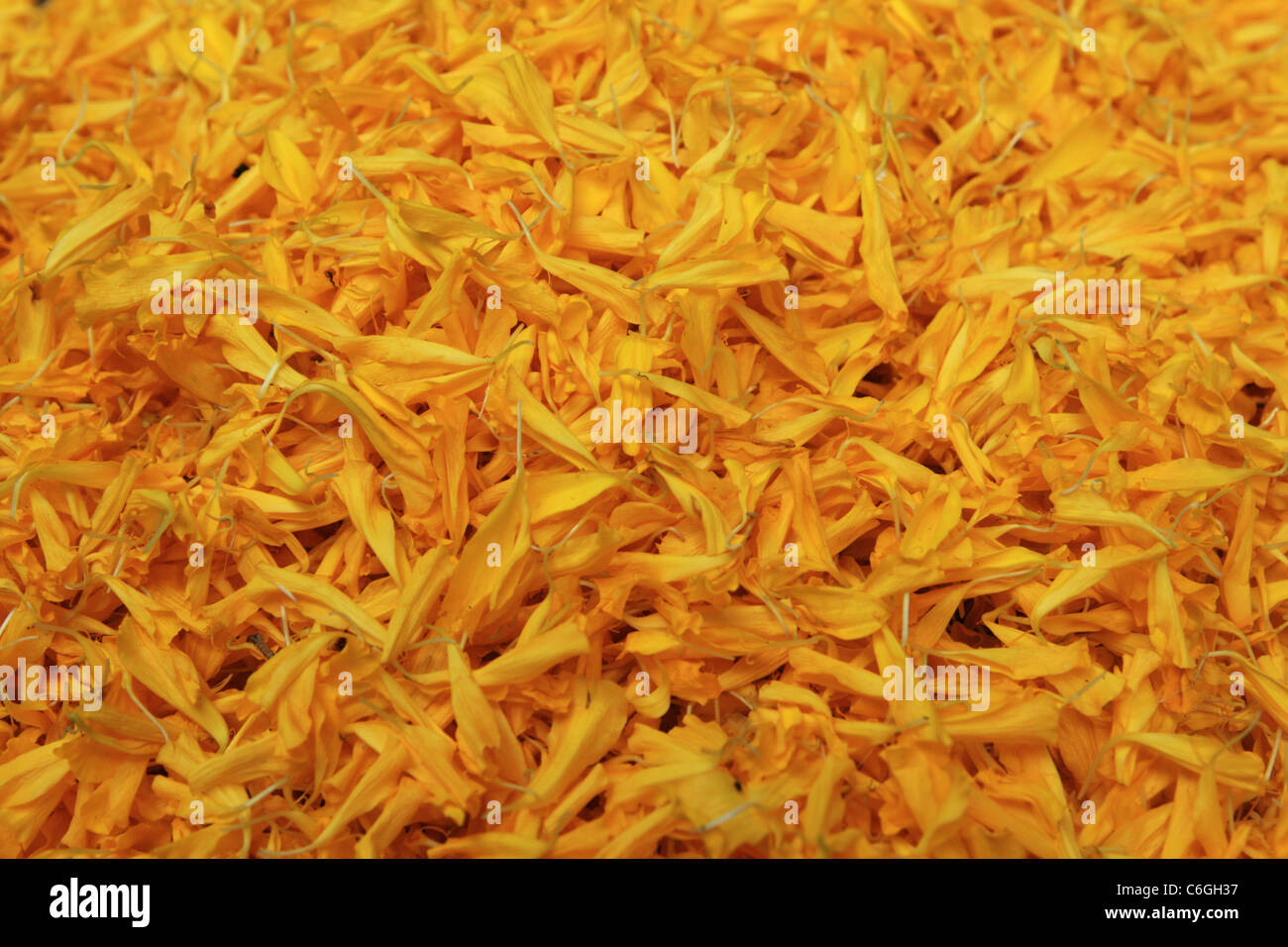 background of yellow flower petals with selective focus - Stock Image