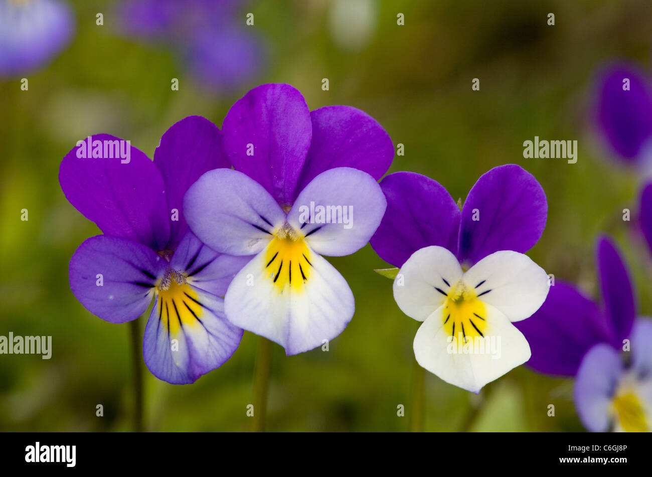Wild Pansy, or Heartsease, Viola tricolor, in mountain pasture. Bulgaria. - Stock Image