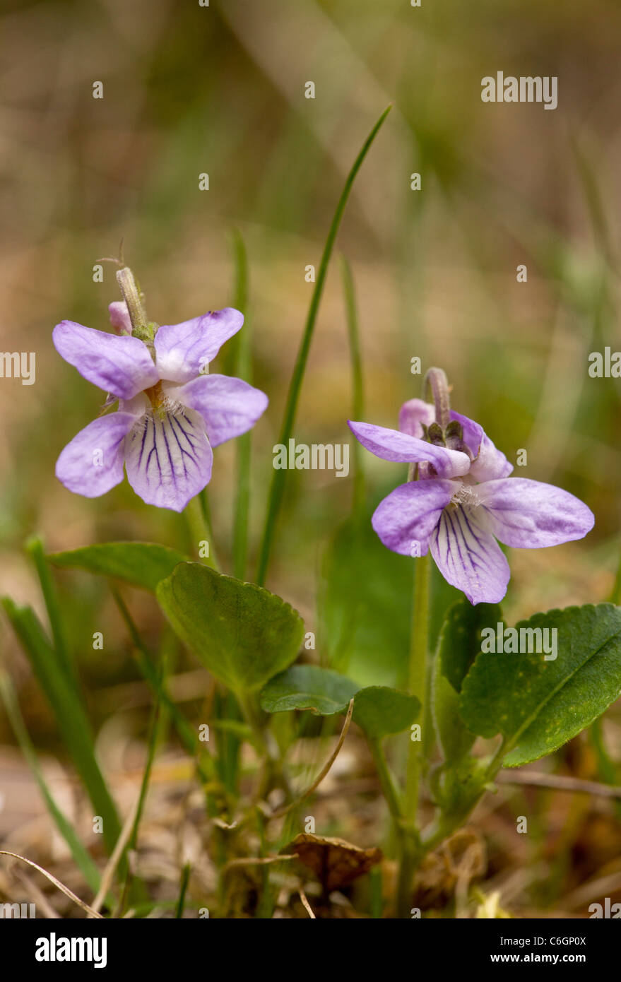 Teesdale Violet, Viola rupestris. Very rare in UK, Teesdale area only. - Stock Image