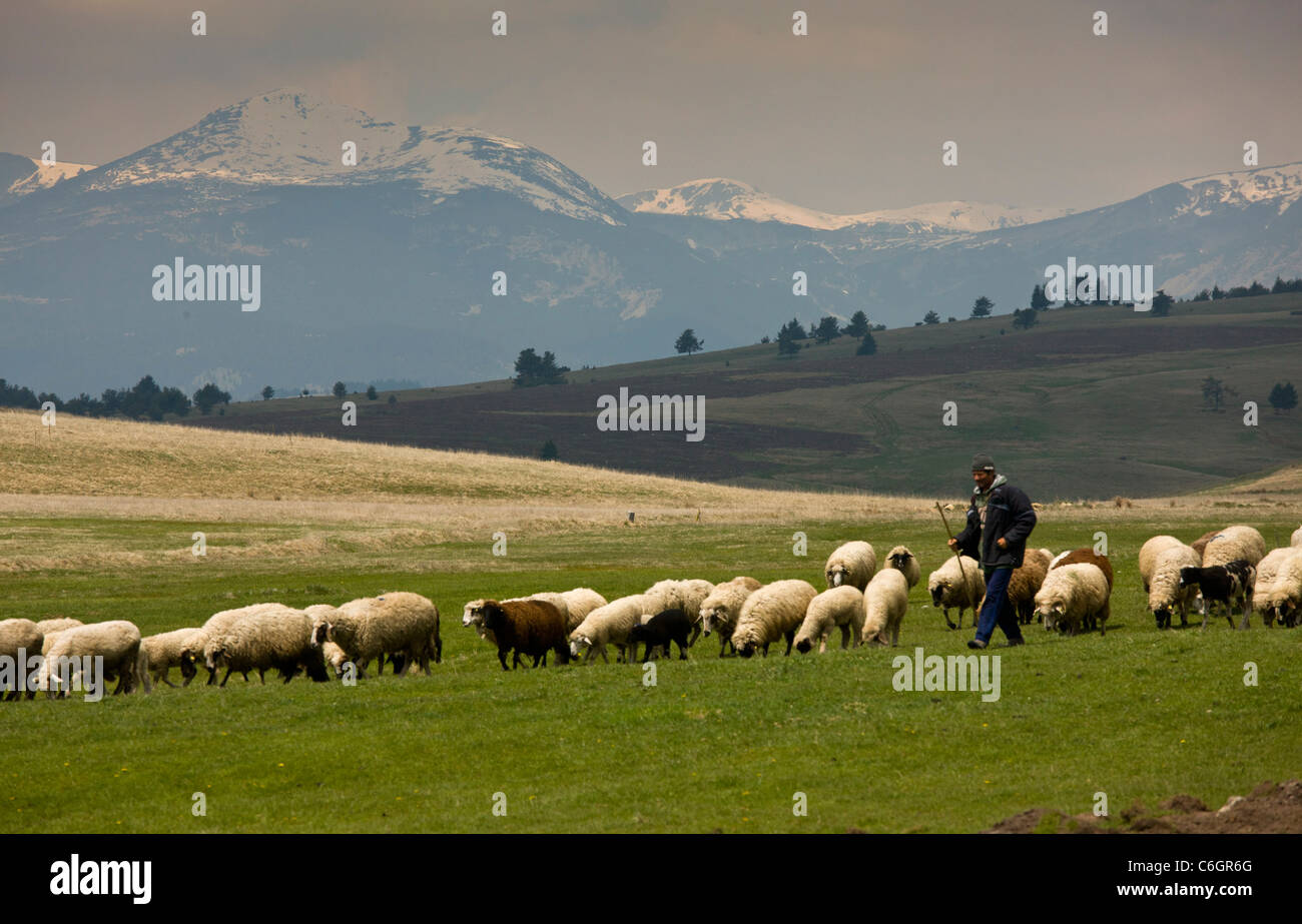 Shepherd with sheep flock in high pastures near Belmeken Lake, with Rila mountains beyond. Bulgaria - Stock Image