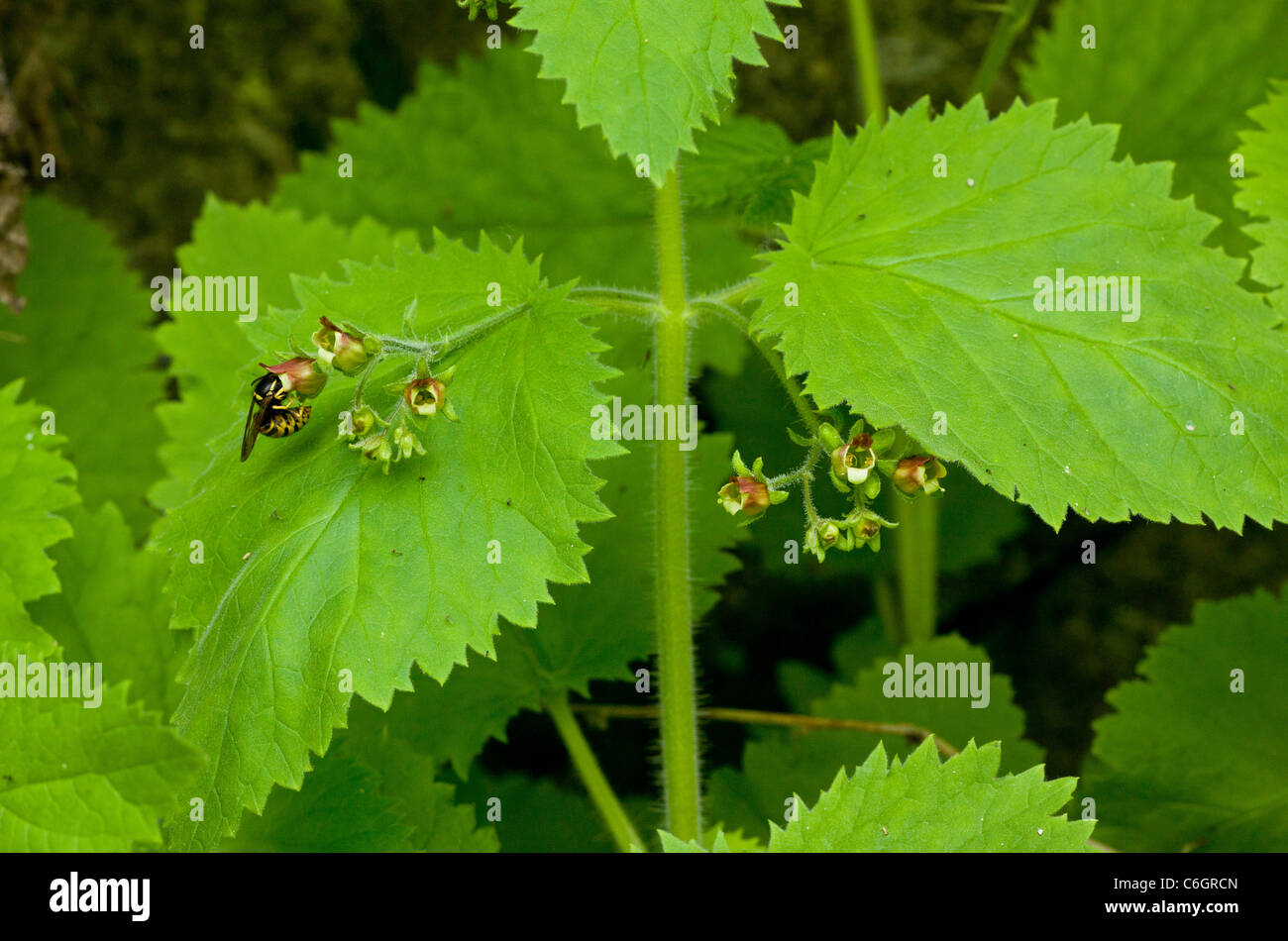 A figwort, Scrophularia aestivalis, with wasp pollinator visiting; Bulgaria - Stock Image