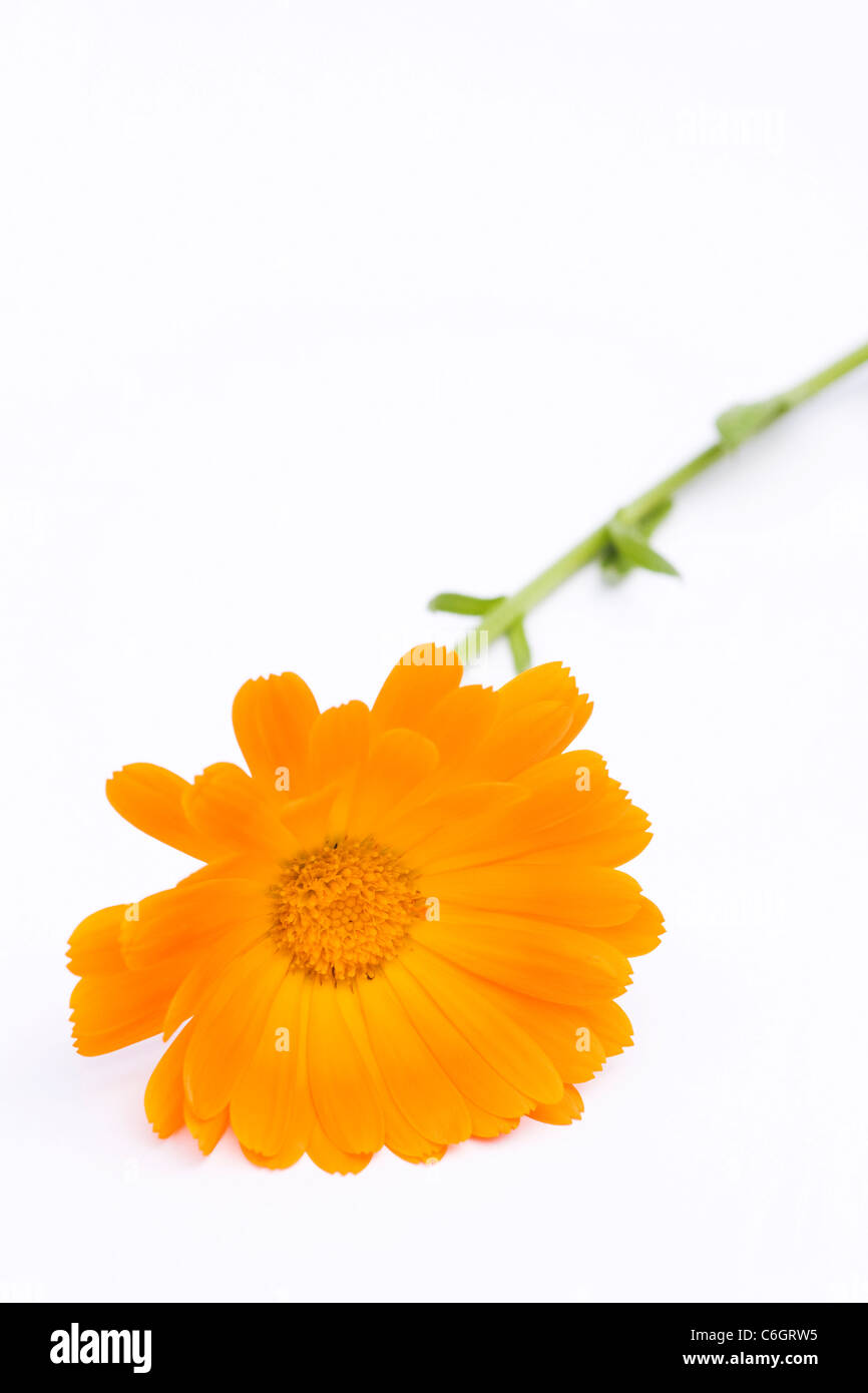 Calendula officinalis. Single pot marigold flower on a white background. - Stock Image