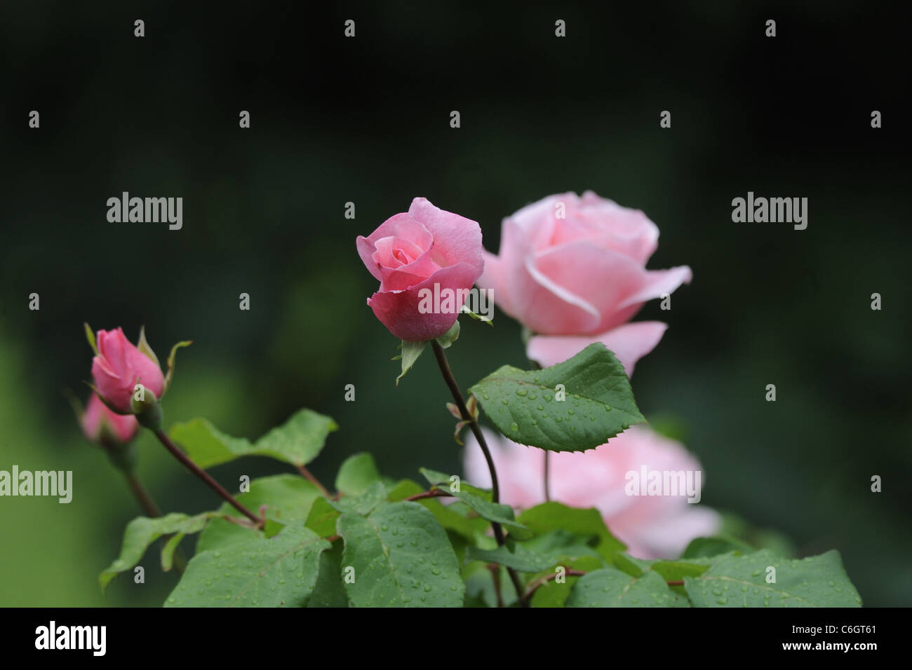 rose bush stock photos rose bush stock images alamy. Black Bedroom Furniture Sets. Home Design Ideas