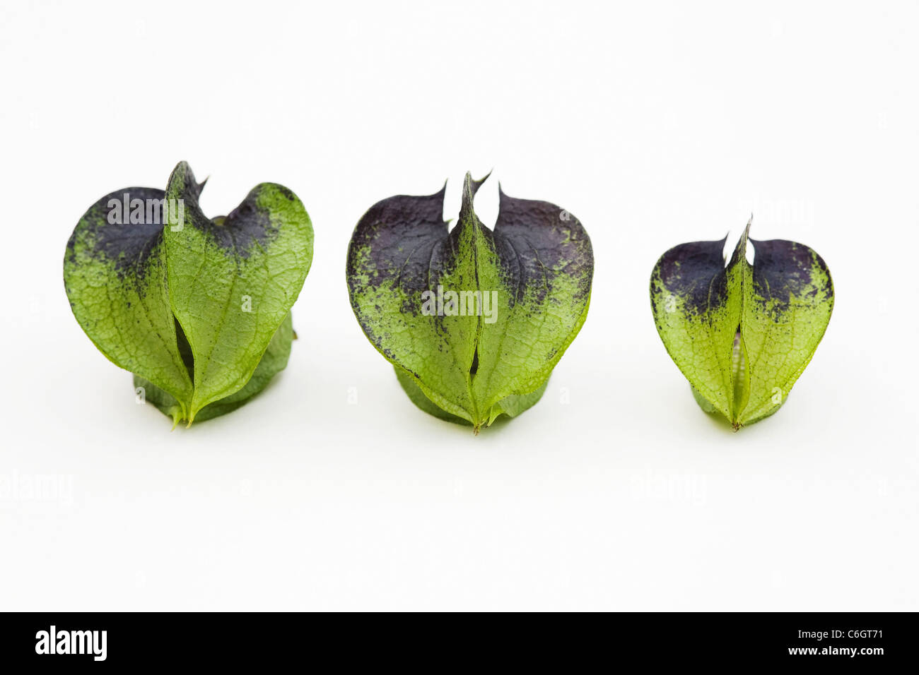Nicandra physalodes. Unripe seed pods of the shoo-fly plant on a white background. - Stock Image