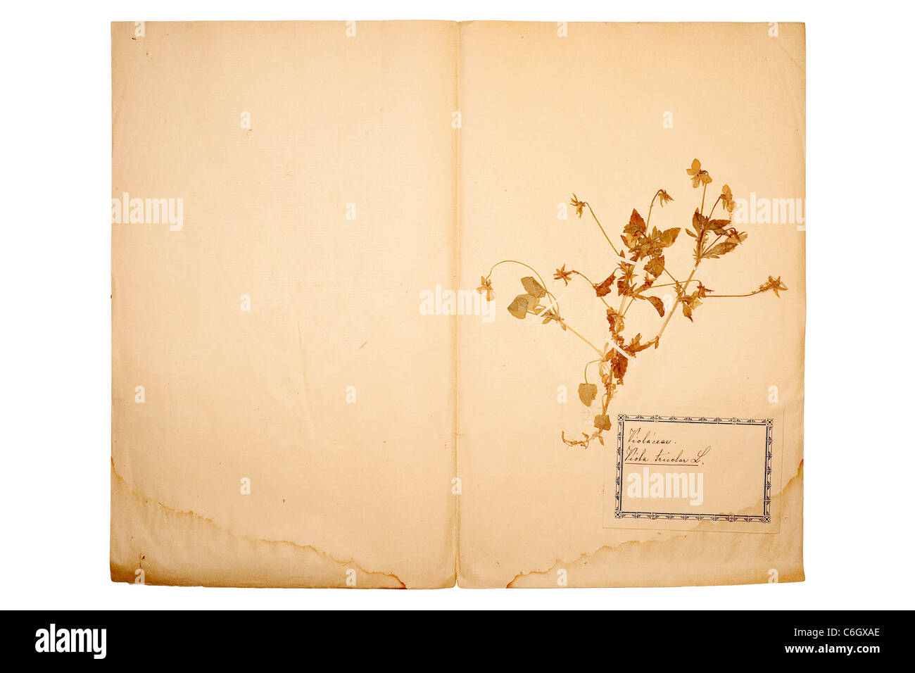 Beautiful Dried And Pressed Flower On Old Gone Yellow Paper Stock