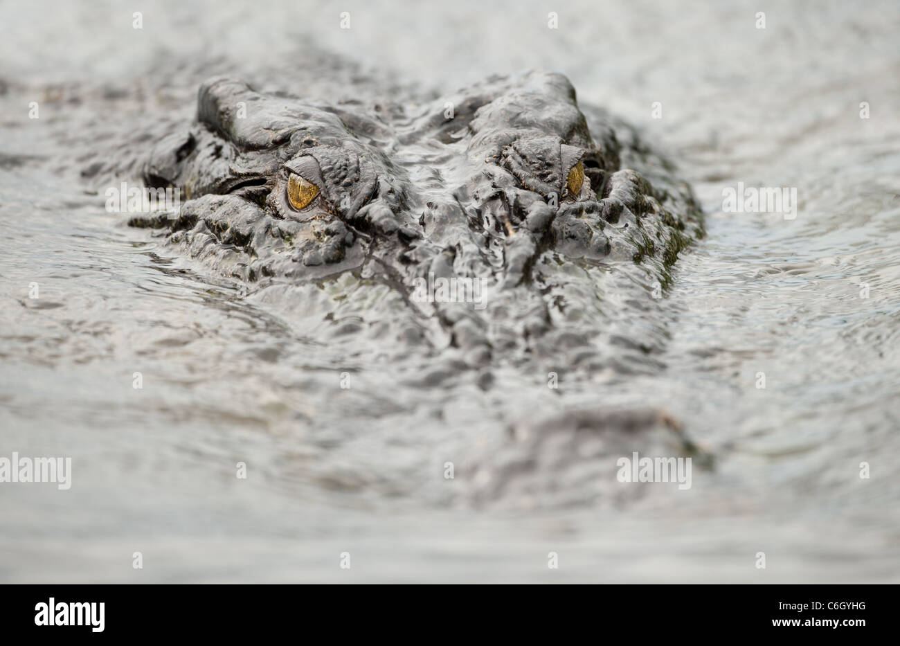Partially submerged head of saltwater crocodile with prominent eyes in Kakadu National Park, Northern Territory, - Stock Image