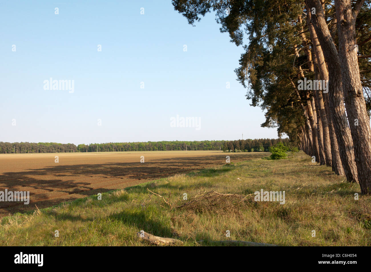 Typical Breckland scenery in Thetford Forest, Suffolk. - Stock Image