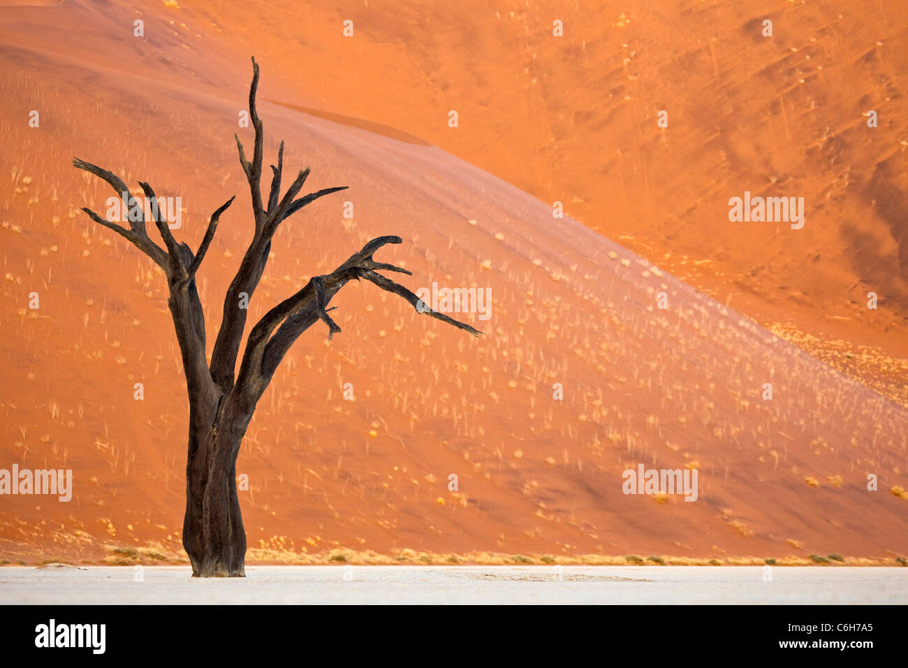 Dead acacia tree against sand dune background Stock Photo