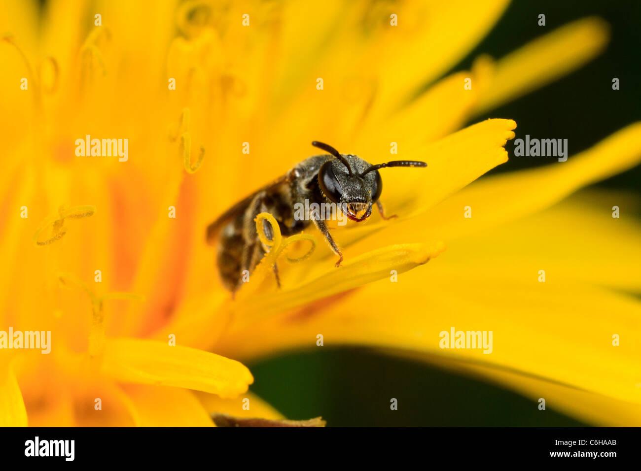 Wasp (Lasioglossum sp.) on dandelion - Stock Image