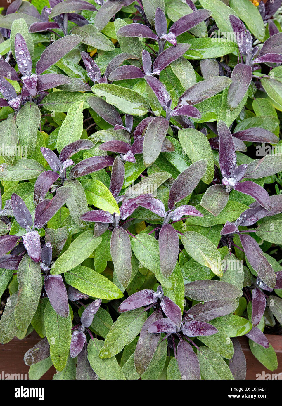 Purple leaved Sage Salvia officinalis is a culnary and medicinal herb here growing in an English herb garden - Stock Image