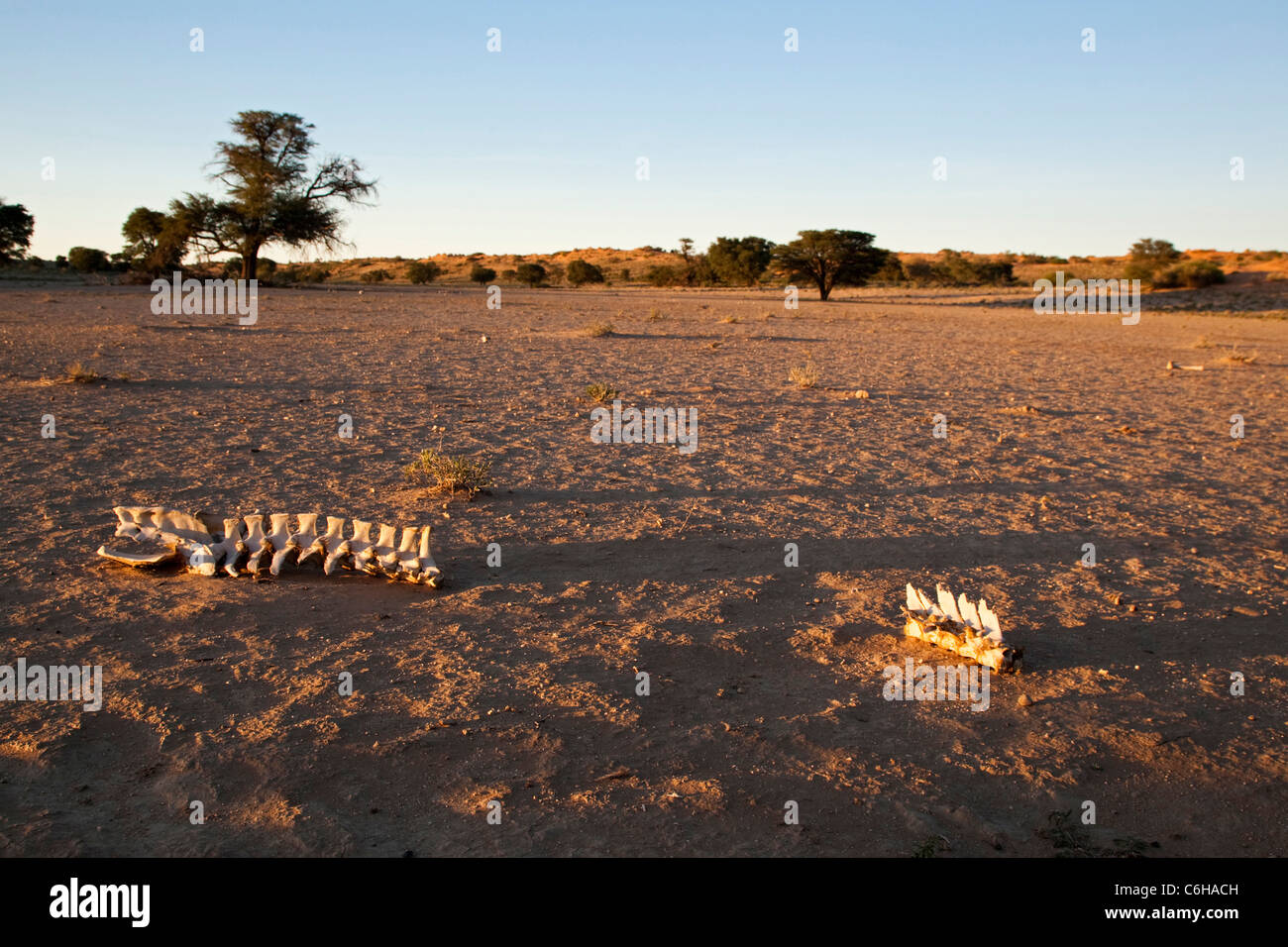 Bones in the dry Nossob riverbed - Stock Image