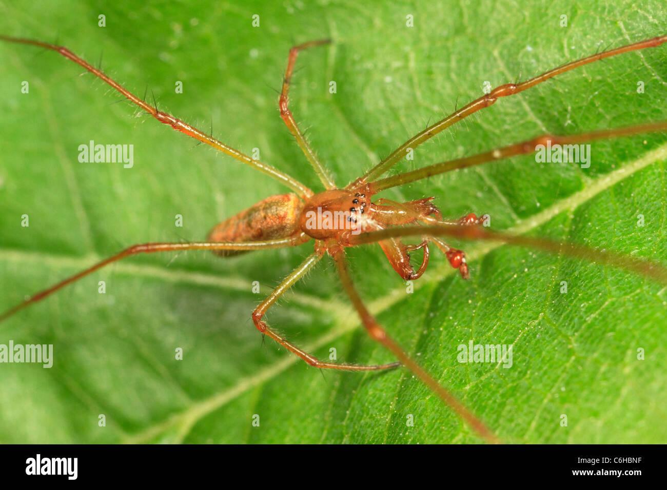 Longjawed orbweaver spider (Tetragnatha sp.) - Stock Image